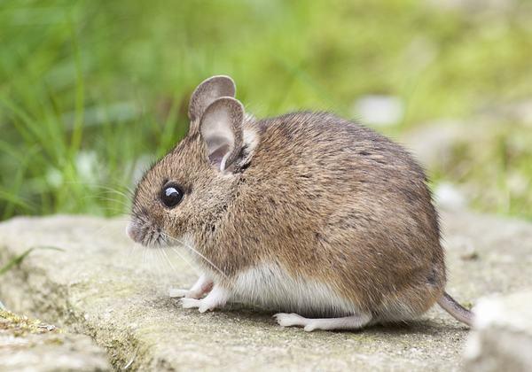 Giấc mơ thấy chuột đôi khi là sự phản ánh thực tại bạn đang thực hiện những việc không tốt