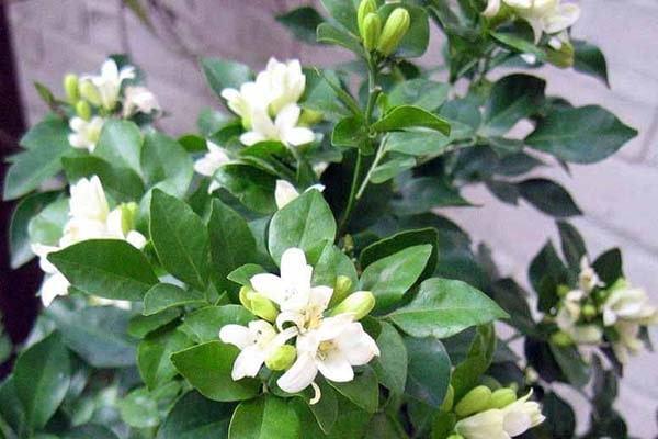 Có nên trồng Cây Nguyệt quế trước nhà không, trồng như thế nào tốt cho phong thủy gia đình?