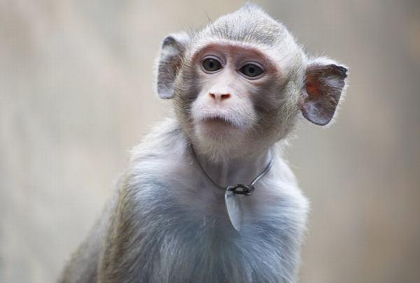 Có đáng sợ khi mơ thấy con khỉ không?