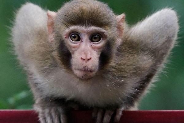 Giải mã ý nghĩa khi nằm mơ thấy con khỉ ra sao? Nên đánh con gì khi gặp giấc mơ này?