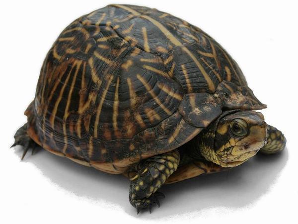 Rùa là con vật tâm linh có ý nghĩa quan trọng với người dân Việt Nam.