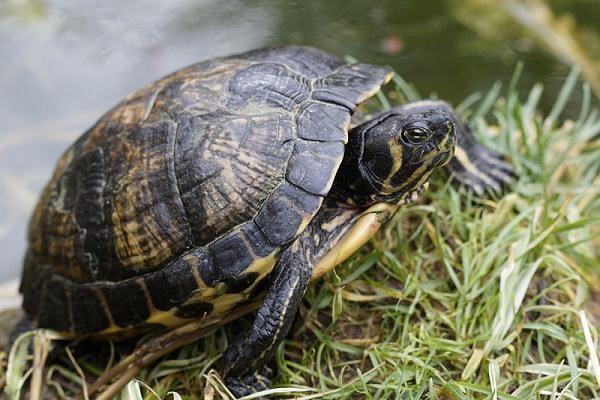 Mơ thấy rùa bò vào nhà báo hiệu nhiều vận may và tài lộc.