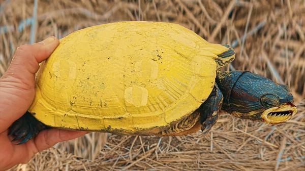 Mơ thấy rùa vàng báo hiệu công việc có nhiều khó khăn, trắc trở hơn.
