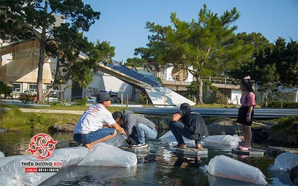 Hoàn tất việc thi công, đơn vị thi công sẽ tiến hành xử lý nước hồ để đảm bảo cá Koi có thể phát triển.